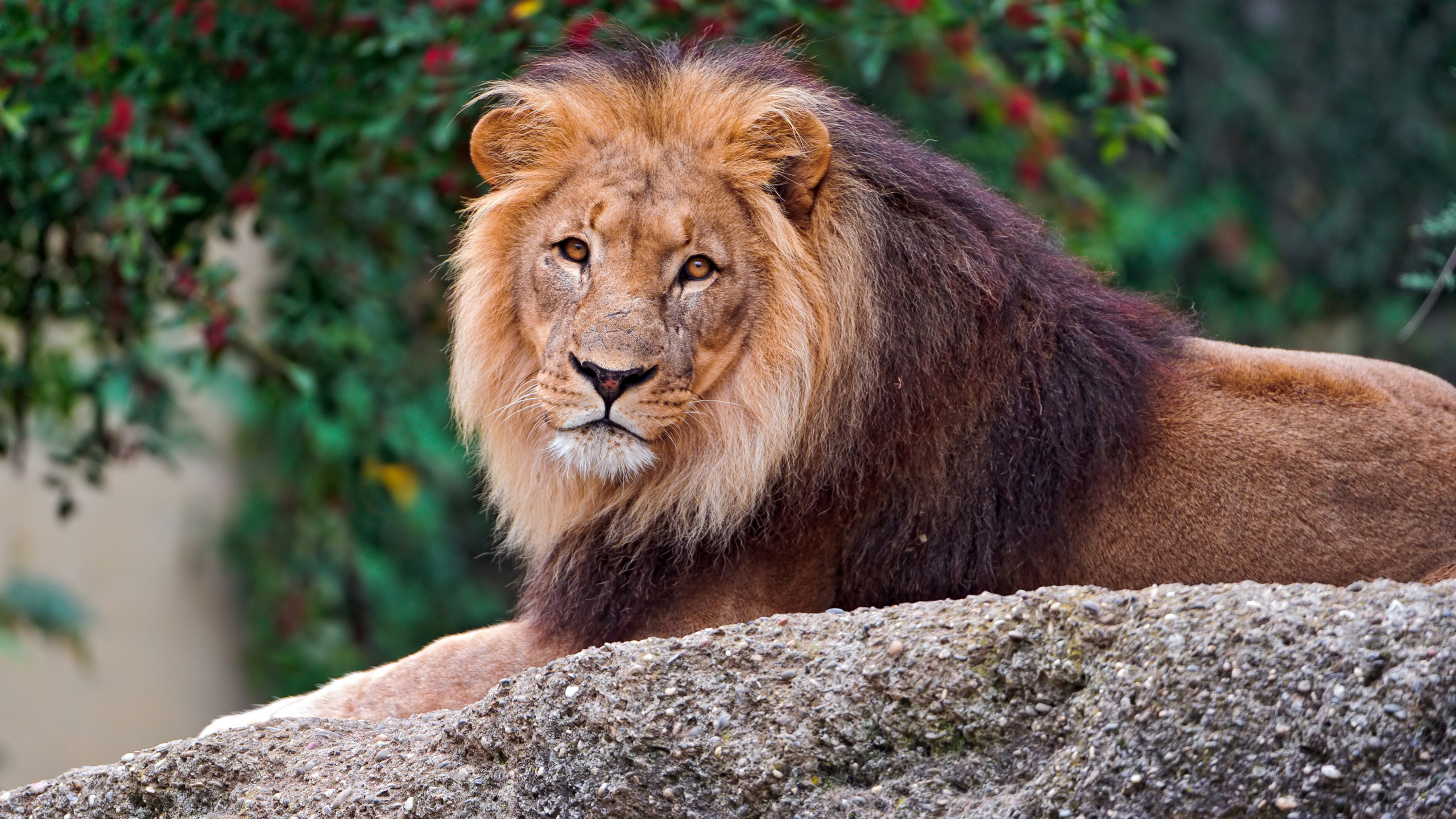 Download Male Lion HD wallpaper scaled
