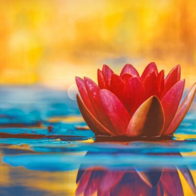 Water lily flower pond wallpaper