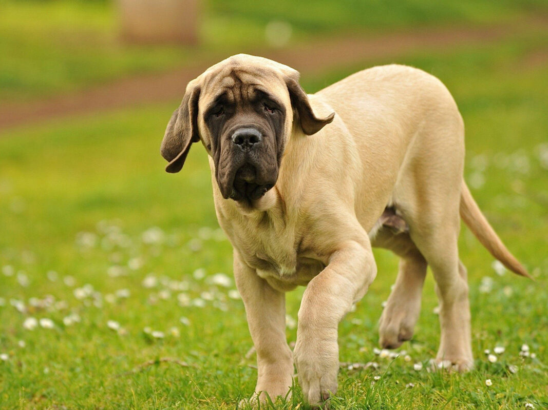 English Mastiff dog HD Wallpaper